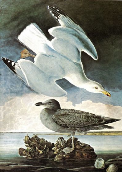 Audubon, John James: Herring Gull and Black Duck. Ornithology Fine Art Print/Poster. Sizes: A4/A3/A2/A1 (001120)